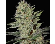 Graines Auto Exodus Cheese