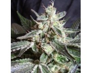 Graines Black Jack Auto
