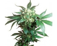 BLACK DOMINA Sensi Seeds