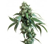 Graines Jackflash Sensi Seeds