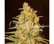Graines Critical Sensi Star