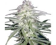 Graines cannabis Destroyer