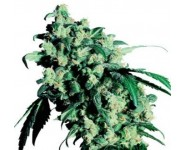 SUPER SKUNK Sensi Seeds