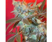 ICED WIDOW Female Seeds