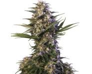 Graines Kraken Buddha Seeds