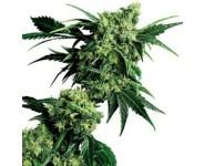 Graines régulières Mrnice G13 Hashplant