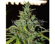 NEVILLE HAZE AUTO World Of Seeds