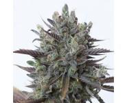 Graines CBD Purple Orange