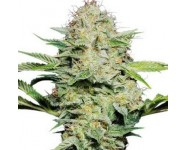 SENSI SKUNK AUTOMATIC Sensi Seeds