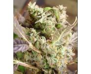Graines Cannabis Somango