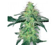 Graines cannabis White Skunk