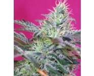 Graines Auto Sweet Cheese