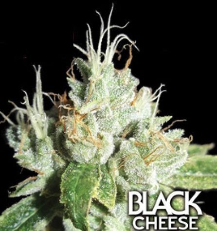 Black Cheese Big Buddha