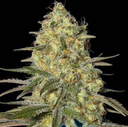 Black Dream de Eva Seeds
