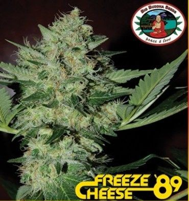 Freeze Cheese 89 Feminizada