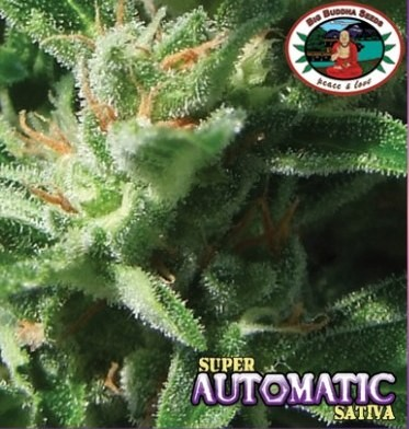 Super Automatic Sativa Autofloreciente