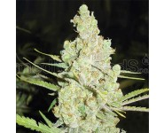 Semillas feminizadas 1024 Medical Seeds