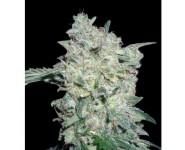 AFGAN KUSH SPECIAL World Of Seeds