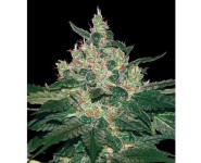 AFGAN KUSH World Of Seeds
