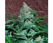 AMNESIA RYDER World Of Seeds