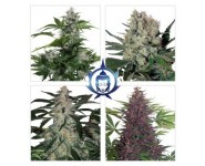 ASSORTED AUTO Buddha Seeds