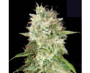 AUTO CHEESE Bulk Seed Bank