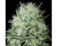 AUTO DEVIL'S KISS Bulk Seed Bank