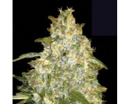AUTO GOOD WILD SHARK Bulk Seed Bank