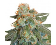 Semillas Autoflorecientes Orange Bud