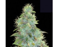 AUTO SWEET TOOTH Bulk Seed Bank