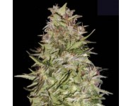 AUTO WHITE PRUSSIAN Bulk Seed Bank