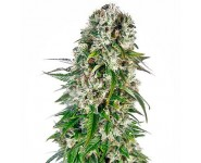 Semillas Autoflorecientes Big Bud