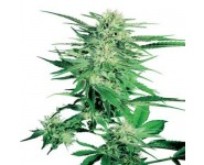 Big Bud Feminizadas y Regulares
