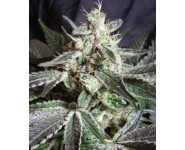 BLACK JACK Sweet Seeds