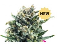 BLUE CHEESE Royal Queen Seeds