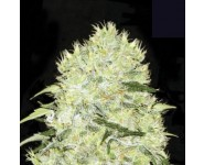 BUBBLEGUM EXTRA Bulk Seed Bank