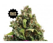Semillas Fast Version Candy Kush