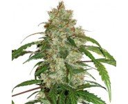 Auto White Widow Autoflorecientes