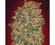 CHOCOLATE KUSH 00 Seeds