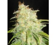 CRITICAL YUMBOLT Delicious Seeds