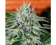 CRITICAL JACK HERER Delicious Seeds