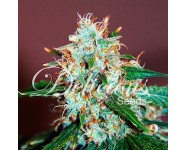 CRITICAL NEVILLE HAZE Delicious Seeds