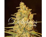 CRITICAL SENSI STAR Delicious Seeds