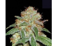 DARK DOMINA Bulk Seed Bank