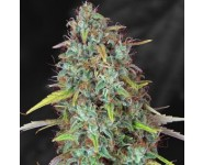 DAWG STAR TH Seeds