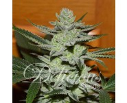 DESCONOCIDA KUSH REGULAR Delicious Seeds