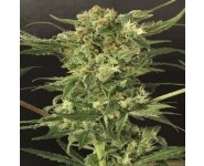 DEVIL KUSH Exotic Seed