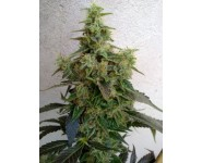 DIESELTONIC Resin Seeds