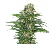 EARLY SKUNK AUTOMATIC Sensi Seeds