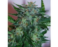 FLASH BABYLON Samsara Seeds